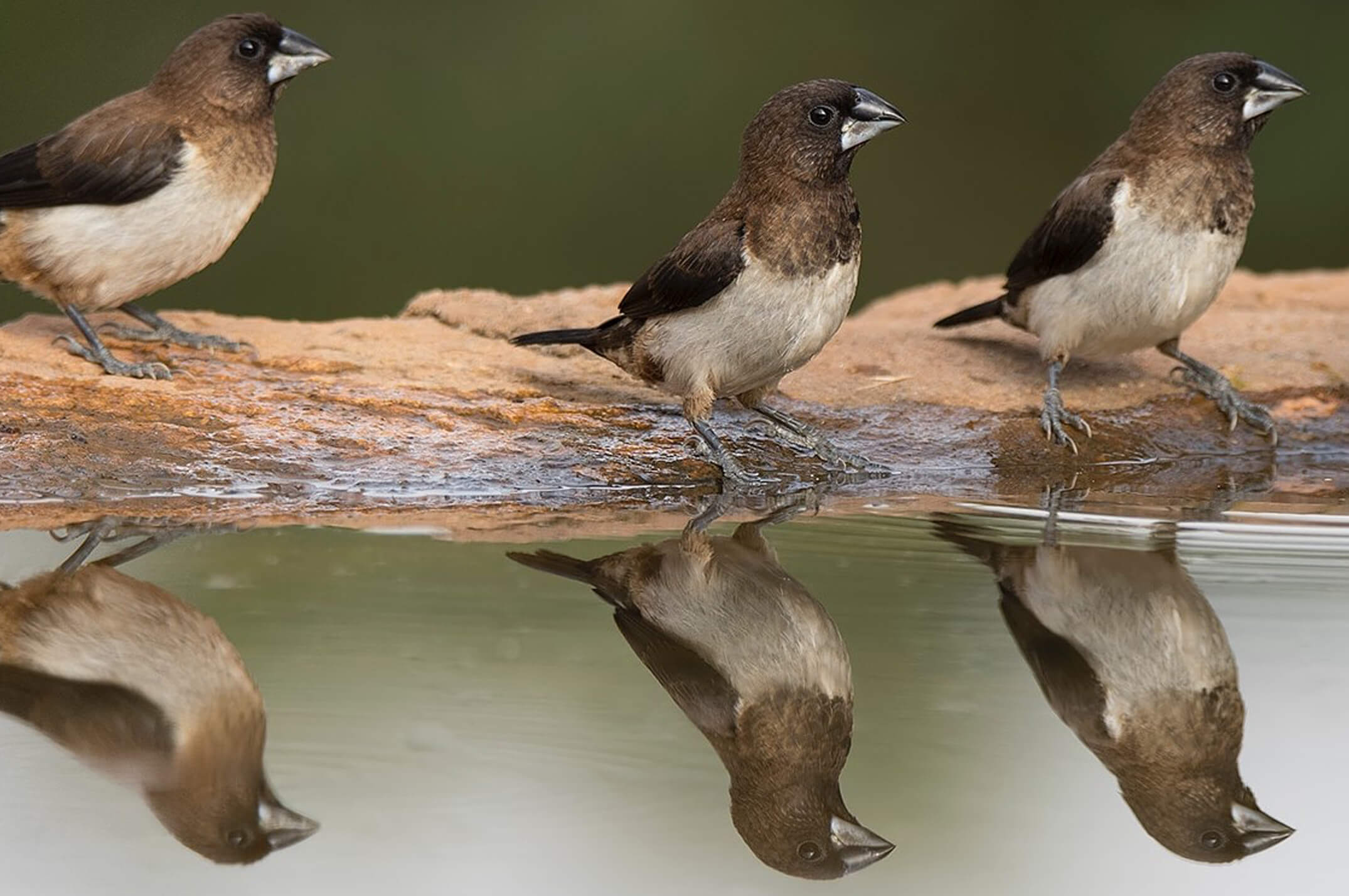 Three birds at waters edge with reflection in water